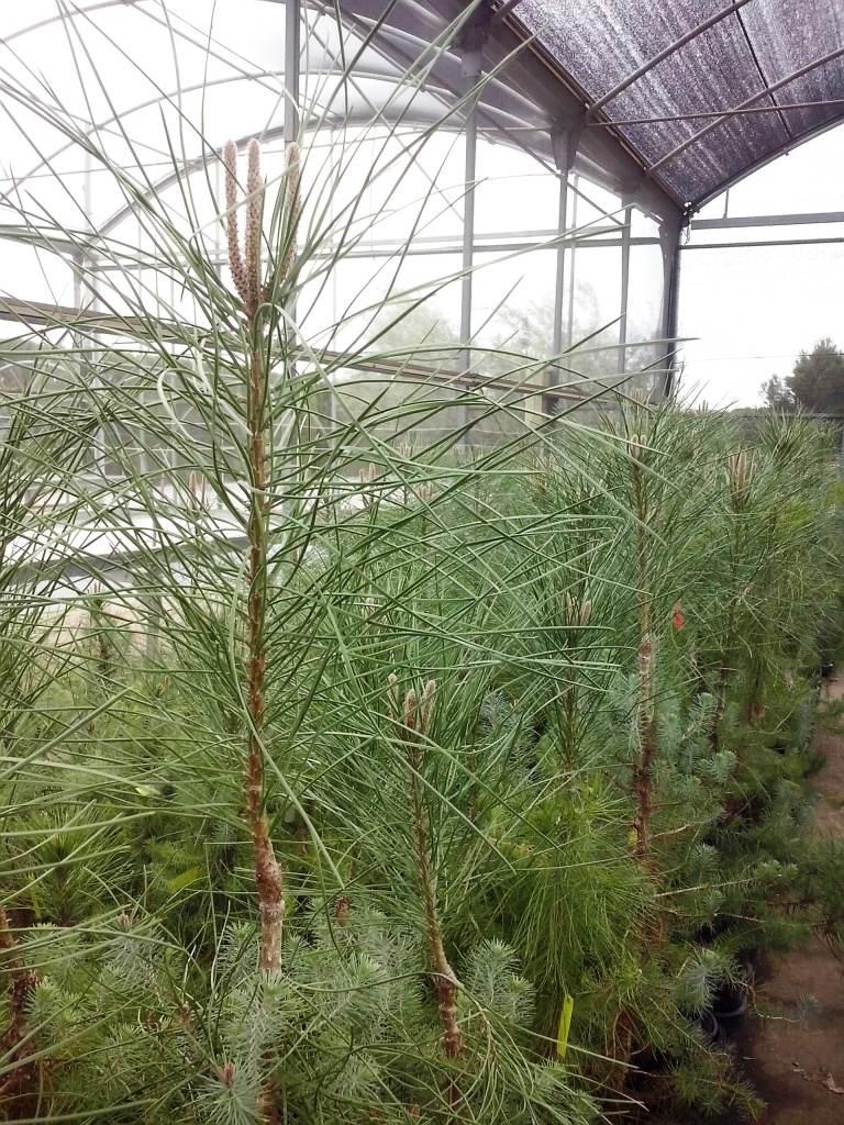 Stone pine graft (c) CNRGF Alacuás